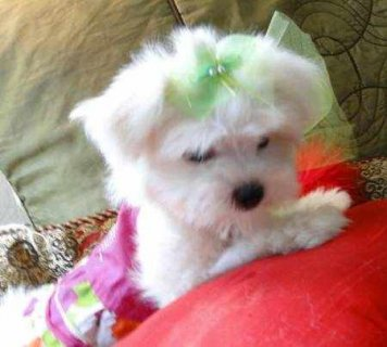 Two beautiful purebred Maltese puppies. 11 weeks old