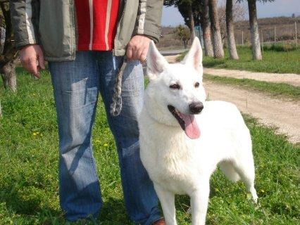 كلاب جيرمن شيبرد بيضاء