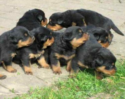 صور Male and female Rotweiller Puppies for adoption 1