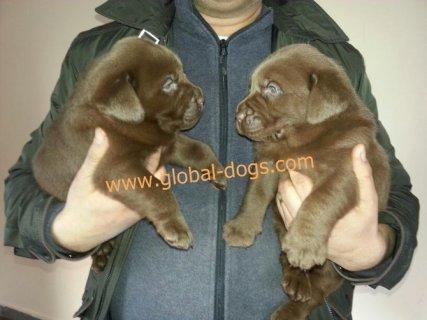 كلاب لابرادور