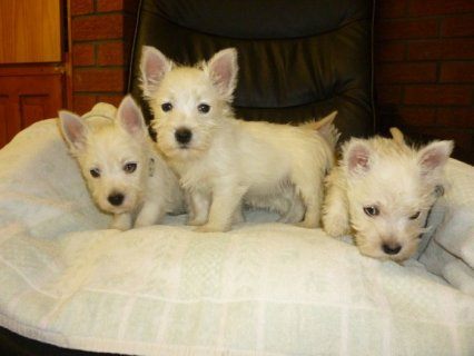 صور 11 Weeks Old and West Highland Terrier Puppies For Xmas 1