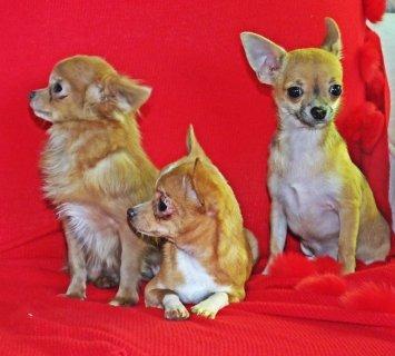 كلاب شيواوا