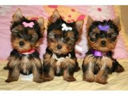Quality Teacup Yorkies Puppies