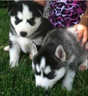 صور cute blue eyed siberian husky puppies 1