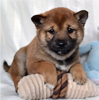 Fantastic Shiba Inu Puppies Available