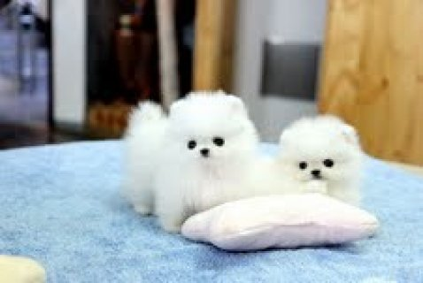 صور Home Trained Pomeranian Puppies 1
