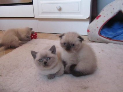 صور Very Rare Scottish Fold Kittens 1