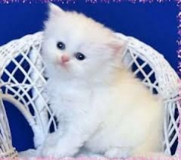 صور Persian kitten last male for sale(marieyerbles@>g>m>a>i>l>.>c>o> 1