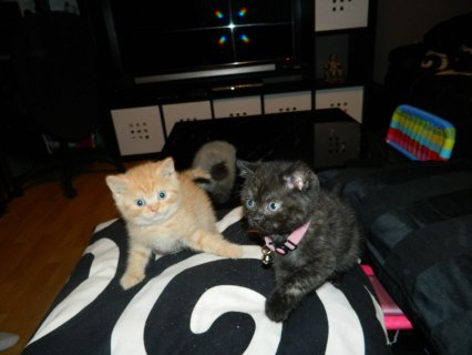Stunning Quality Pedigree Gccf Reg Bsh Kittens