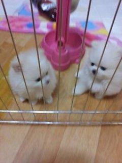 Beautiful Pomeranians