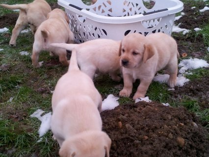 Male and Female Labrador Retriever Puppies Available
