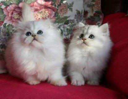 Adorable chinchilli persian kittens;;;;;;;