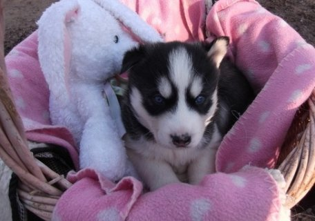 Male and Female Siberian husky puppies Puppies for Adoption
