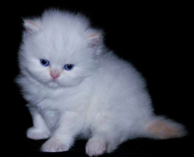 Teacup Persian kittens Available