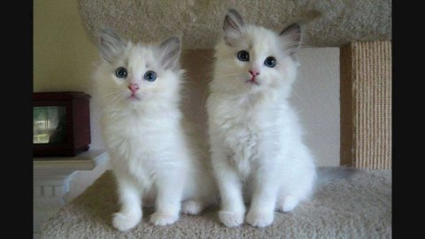 صور Cute male And Female Ragdoll kittens For sale 1