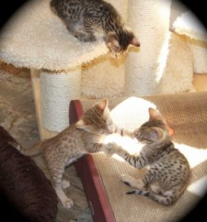 Male And Female Savannah Kittens For Sale Now
