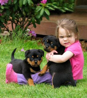 beautiful male and female Rottweiler Puppies Available for your