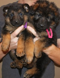 Gorgeous Male and Female German Sherpherd for adoption.