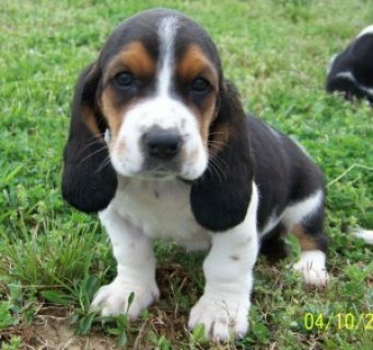 صور Healthy Basset Hound Pups for sale 1