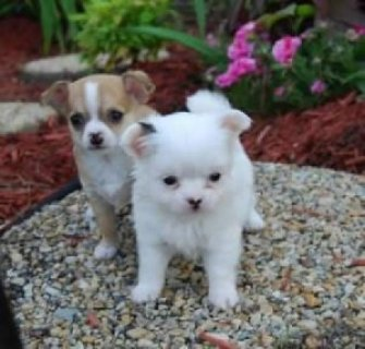 صور male and female chihuahua puppies for adoption 1