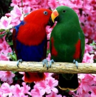 صور Eclectus red sided babies! 1