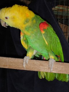 cute Double Yellow Head Amazon Parrots For Sale.   AFRICAN GREY