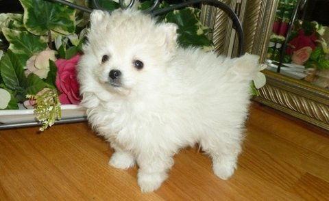 صور Amazing Pomeranian puppies for adoption	 1