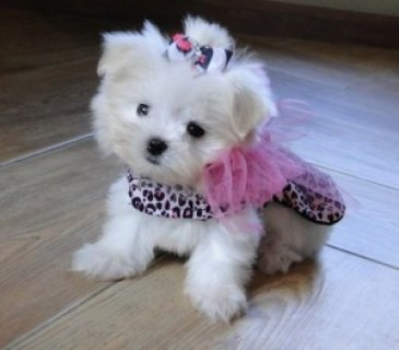 صور Two Beautiful Maltese Puppies 1