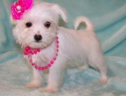 صور Affectionate Maltipoo Puppies 1