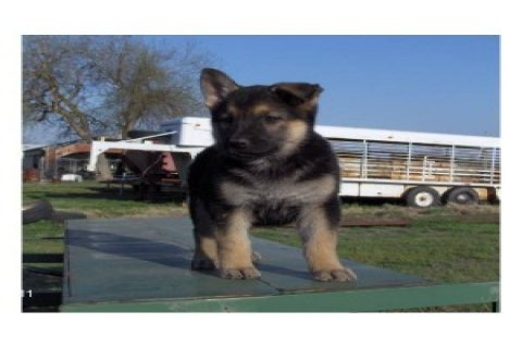 (free)Adorable and Healthy Male and Female German Shepard puppie
