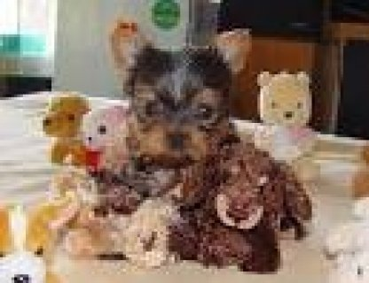 cute teacup yorkie puppies to loving homes