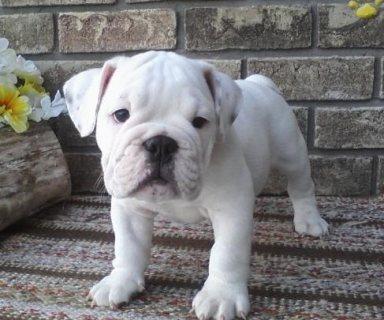 AKC English Bulldog Puppies for Adoption
