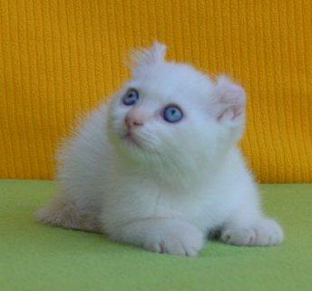 LUCILLA - American Curl girl kitten