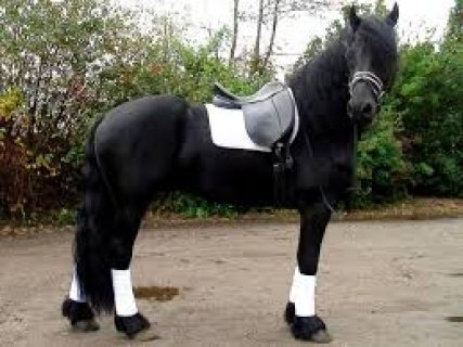 صور $HELLO! DO YOU REALLY NEED A FRESIAN HORSE HERE IT IS !!! 3