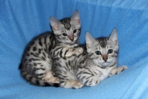 صور amazing bengal kitten for adoption 1