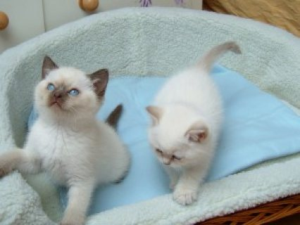 صور Beautiful Pedigree Ragdoll Kittens 1
