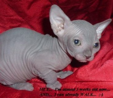 Sphynx kittens for adoption...