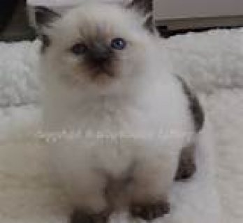 Home Raised Ragdoll Kittens