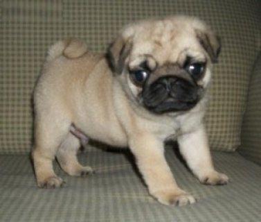 Home Raised Pug Puppies