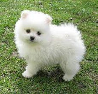 Priceless White Pomeranian Puppy For Adoption