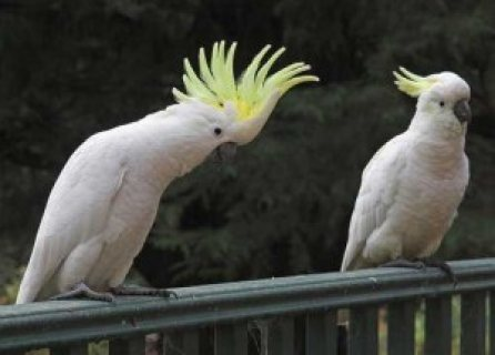 Awesome Baby Face Xmas Hand-Fed Umbrella Cockatoo For Sale!!!