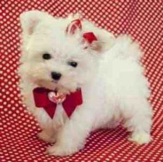 Amazing Maltese puppies