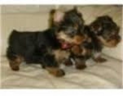 T-cup Yorkshire Terrier