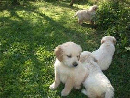 Pedigree Golden Retriever Puppies. Fully Pedigree