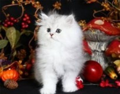 GORGEOUS PERSIAN KITTEN FOR ADOPTION