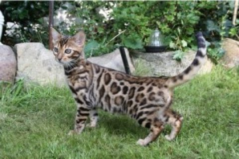 Beautiful Male Bengal Kitten!