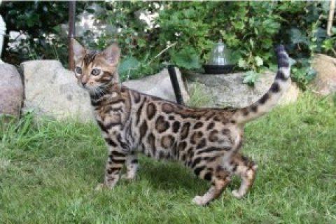 Beautiful Male Bengal Kitten!