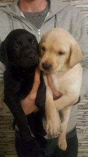 Stunning Labrador Puppies