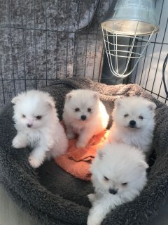 Beautiful Litter of Pomeranian Puppies