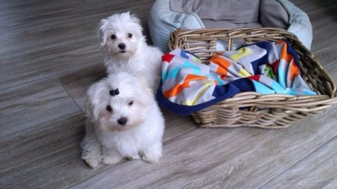 Lovely and Healthy Maltese Puppies Available